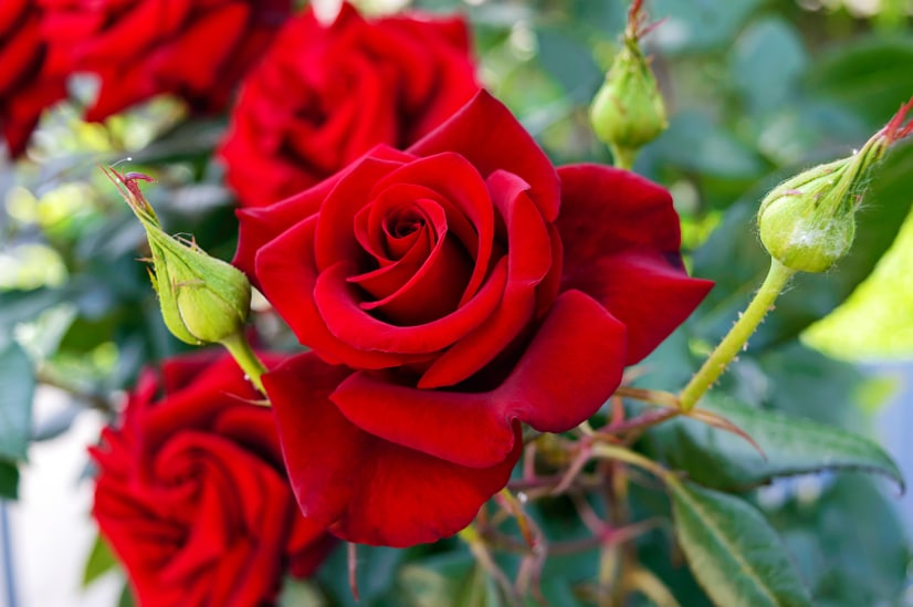 Roses color meaning (The Gracious Wife)