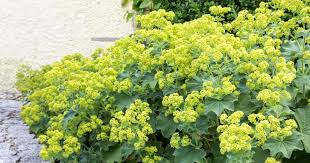 Lady's Mantle (Alchemilla species) flower (Plant Care Today)