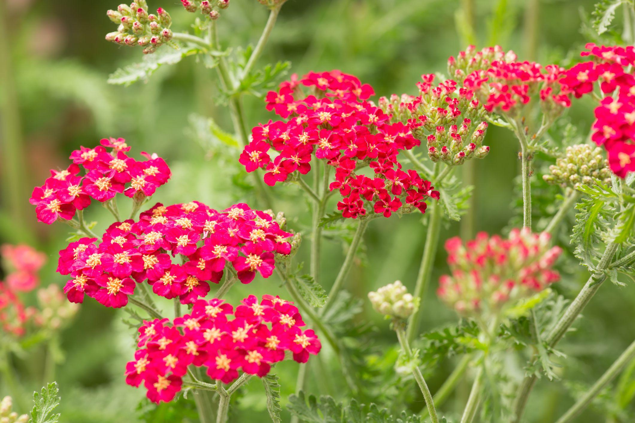 Yarrow (Achillea species) flower (The Spruce)